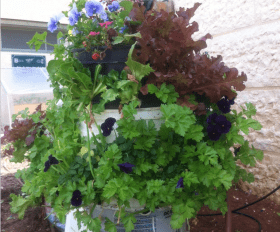 גידול צמחים על ידי שימוש חוזר בפחי צבע מפלסטיק